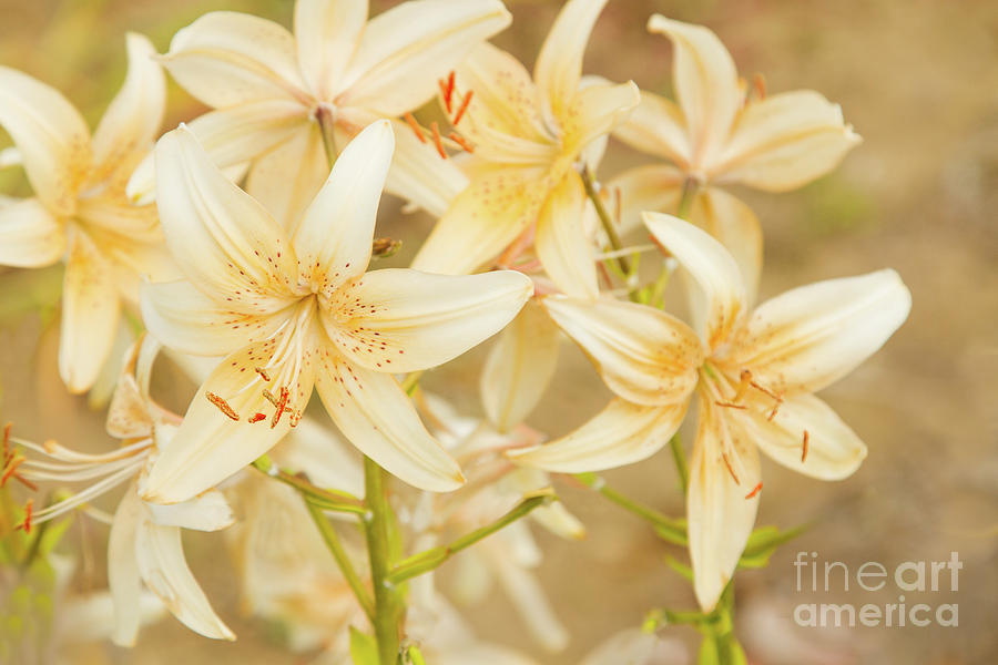 Lilies Photograph - Lilycrest Dainties by Marilyn Cornwell