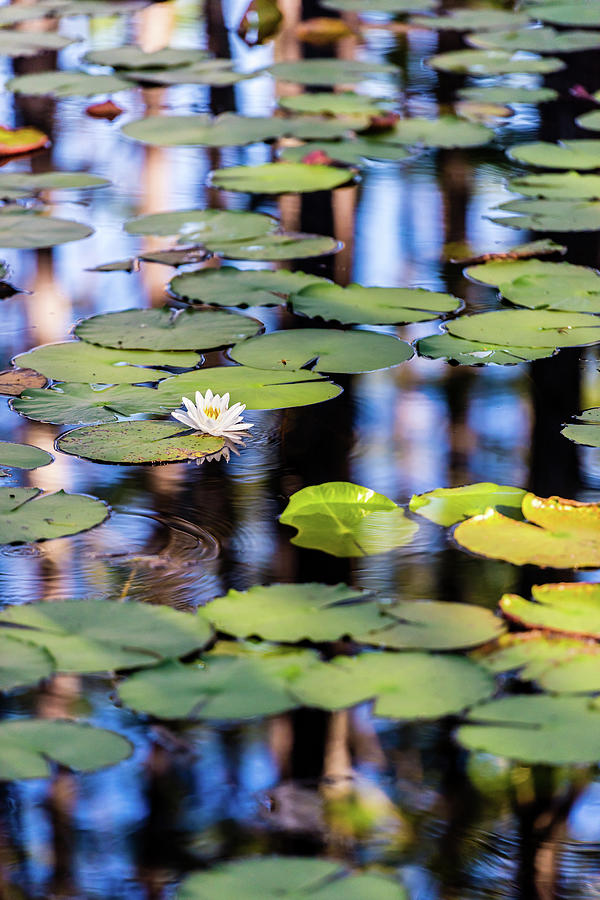 Lilypad Cypress Pond by Kurt Lischka