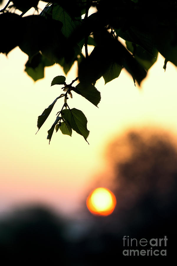 Lime Tree Photograph - Lime Tree Leaves At Sunrise by Tim Gainey