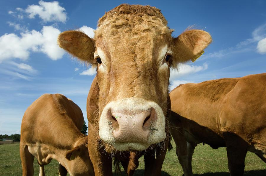 Limousin Bull Photograph by Clarkandcompany
