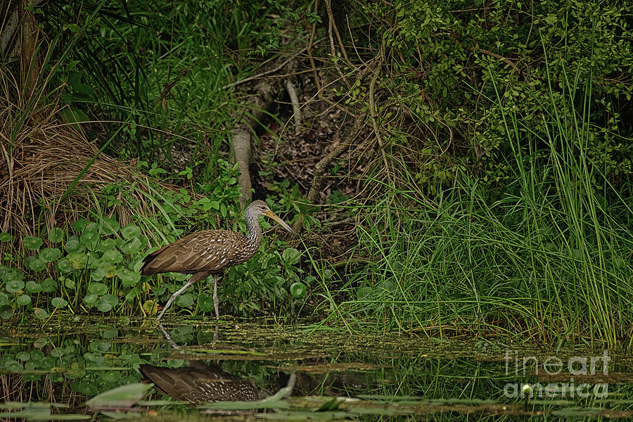 Limpkin Feeding in a Pond - 3954 by Marvin Reinhart