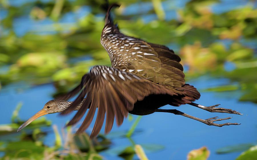 Limpkin in flight  by Kevin Banker