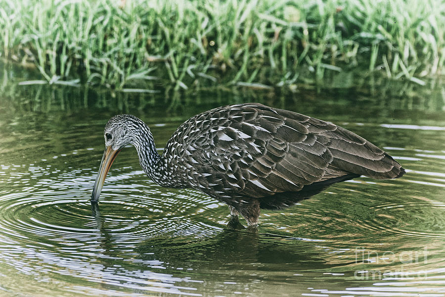 Limpkin Wades Looking for Shells - 1974 by Marvin Reinhart