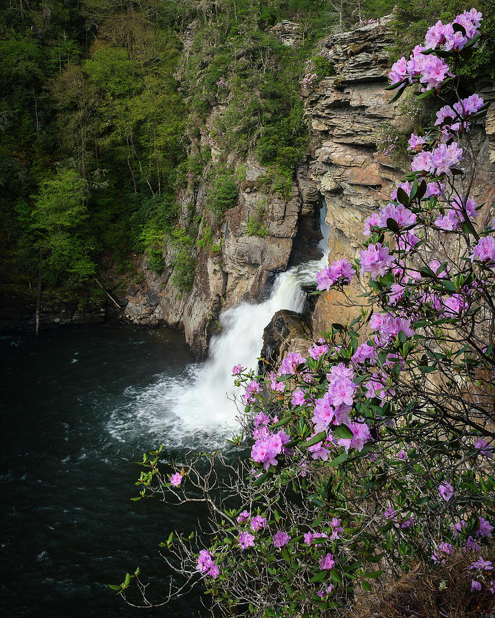 Linville Falls Carolina Rhododendron by Mike Koenig