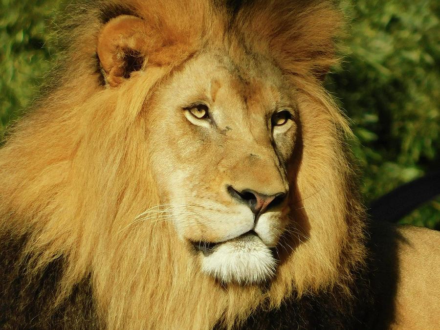 Lion All Grown Up Photograph