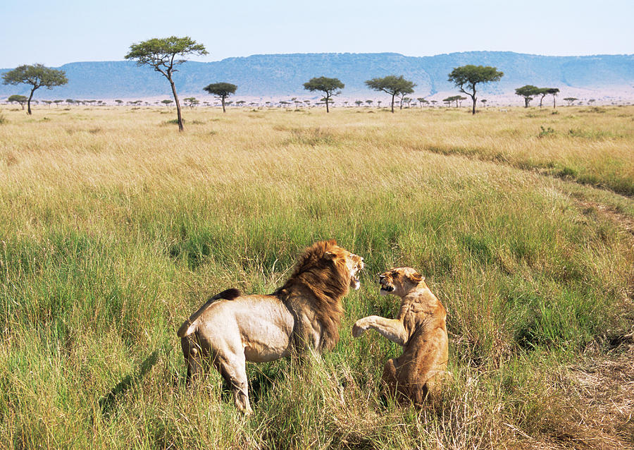 Lion And Lioness Quarrelling Photograph by James Warwick