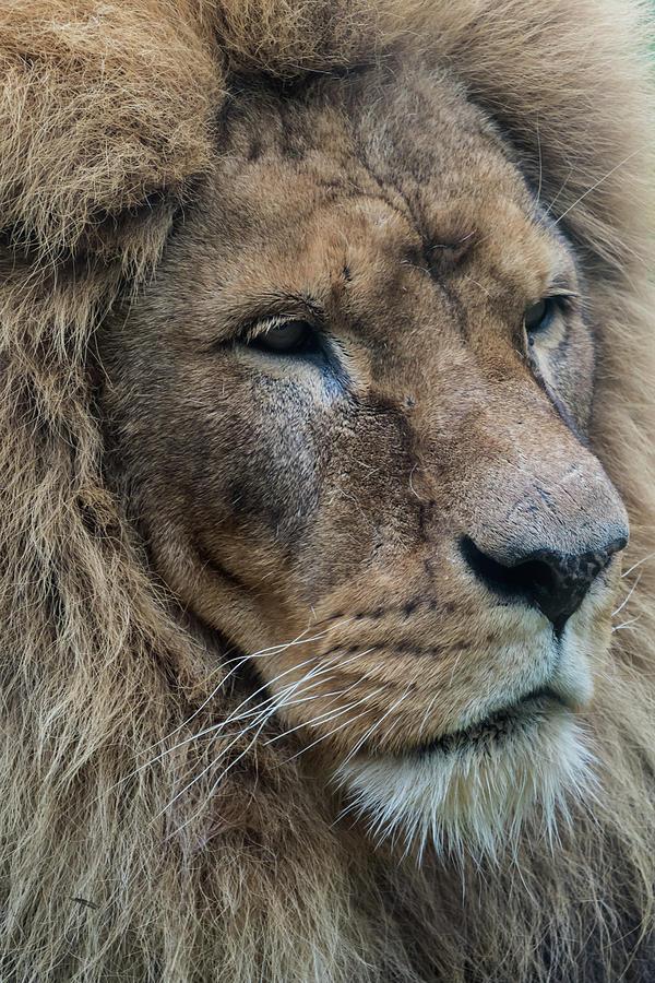 Lion Photograph - Lion by Anjo Ten Kate