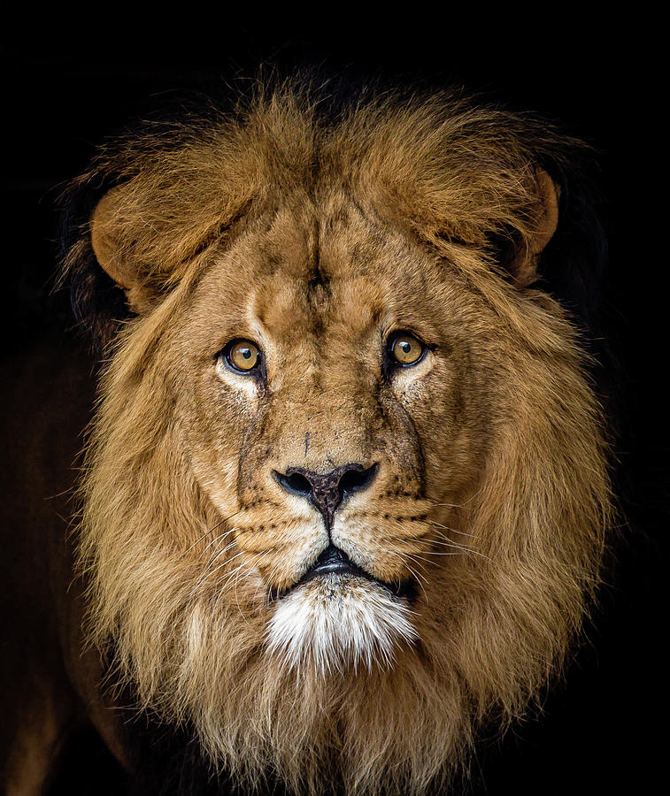 Lion Photograph by Bas Vermolen