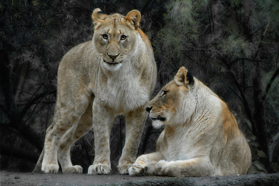 Animals In The Wild Photograph - Lion Cub And Lioness by Joachim G Pinkawa