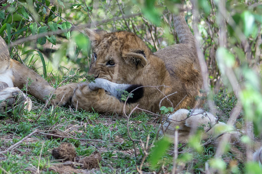 Lion Cub Chewing a Tail by Mark Hunter