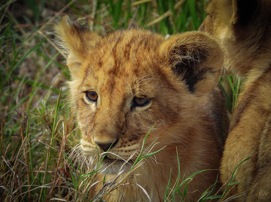 LION CUB by Elie Wolf