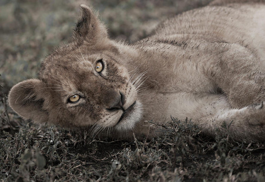Lion Cub Lying On The Ground In The Photograph by Mint Images - Art Wolfe