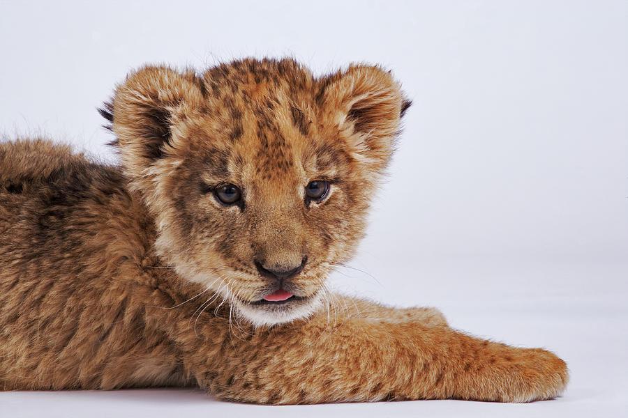 Lion Cub Panthera Leo Lying Down Photograph by Martin Harvey
