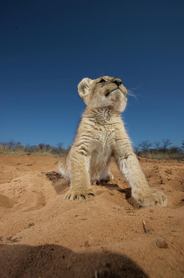 Lion Cub Panthera Leo Sitting On Sand Photograph by Heinrich Van Den Berg
