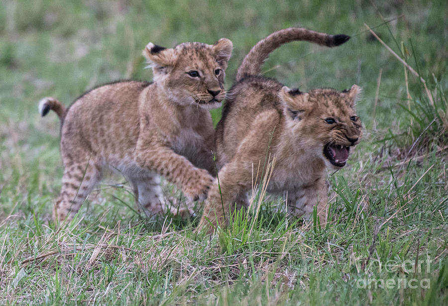 Lion Cubs Growl - Serengeti by Steve Somerville
