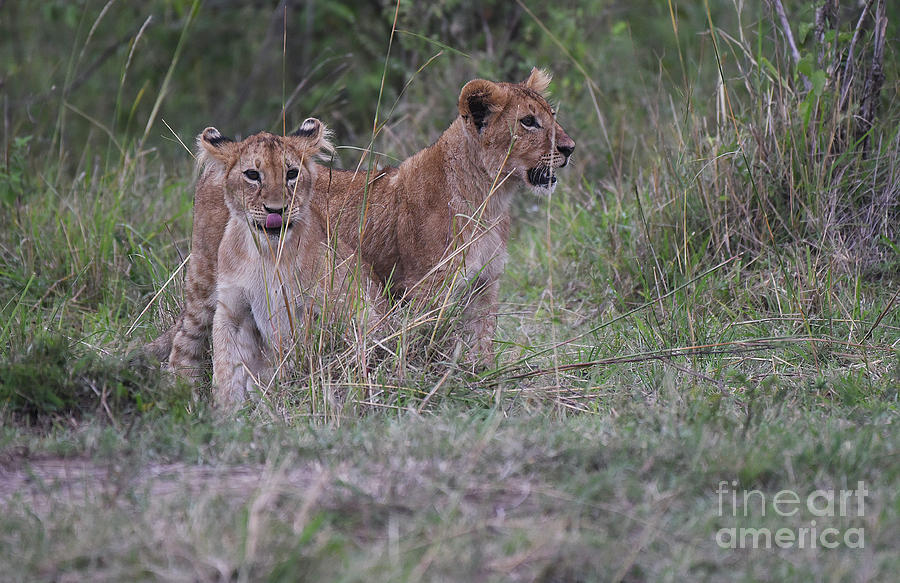 Lion Cubs - Masai Mara by Steve Somerville