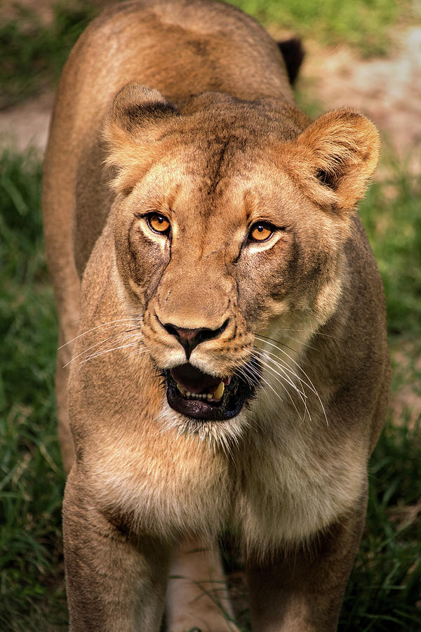 Lion Female by Don Johnson