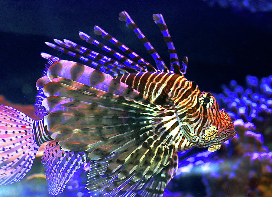 Lion Fish Photograph by Shelly Chapman