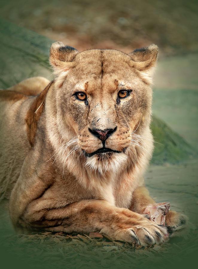 Lion by Gouzel -