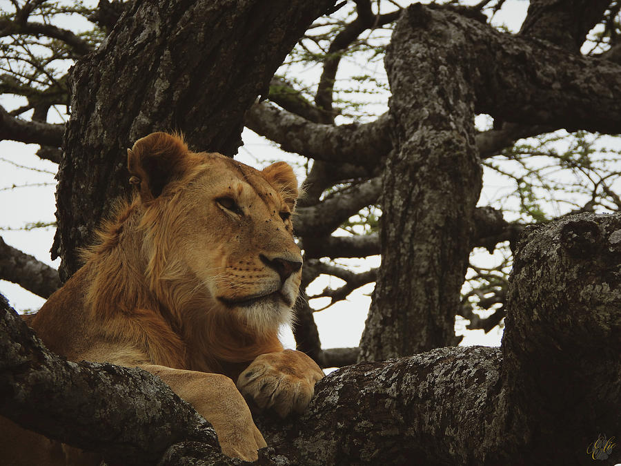 Africa Photograph - Lion In A Tree by Elie Wolf