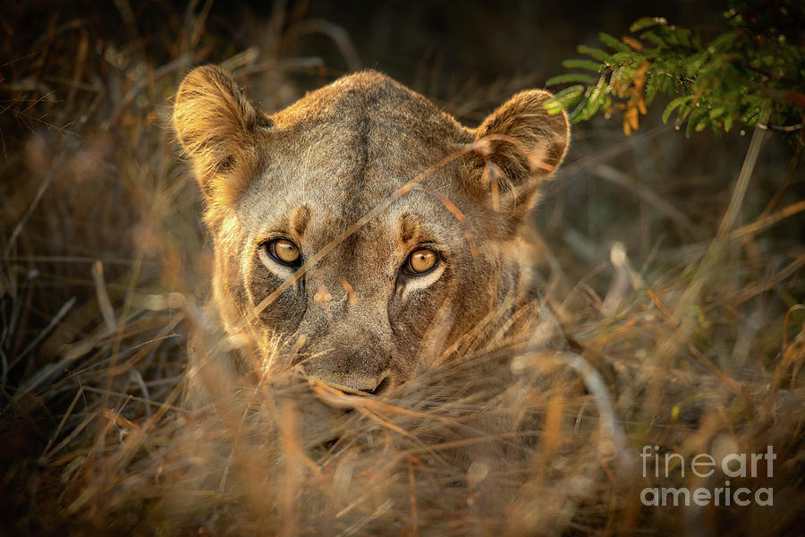 Lion In The Grass Photograph