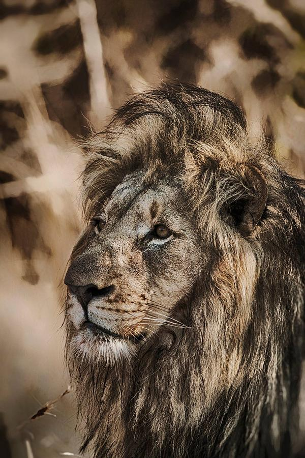 Prints Photograph - Lion by John Finch