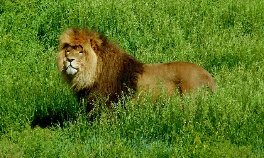 Lion King by Dan Miller