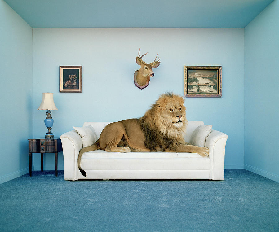 Lion Lying On Couch, Side View Photograph by Matthias Clamer