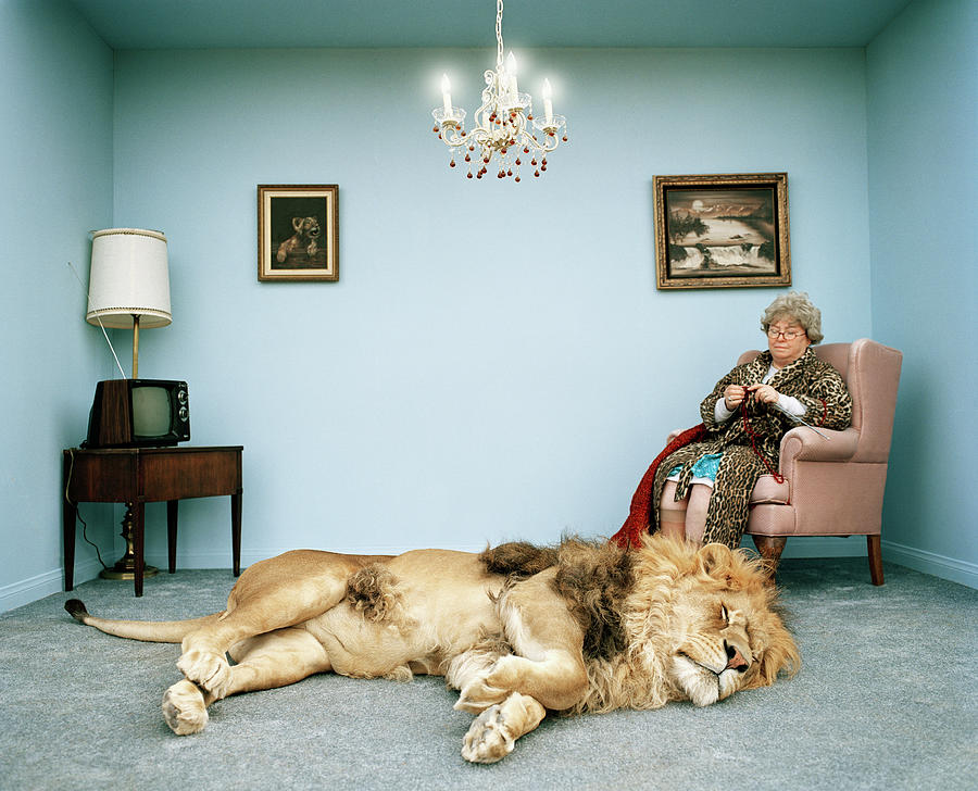 Lion Lying On Rug, Mature Woman Knitting Photograph by Matthias Clamer