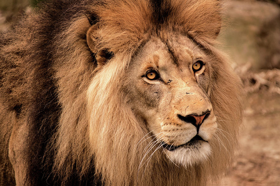 Lion-Male by Don Johnson