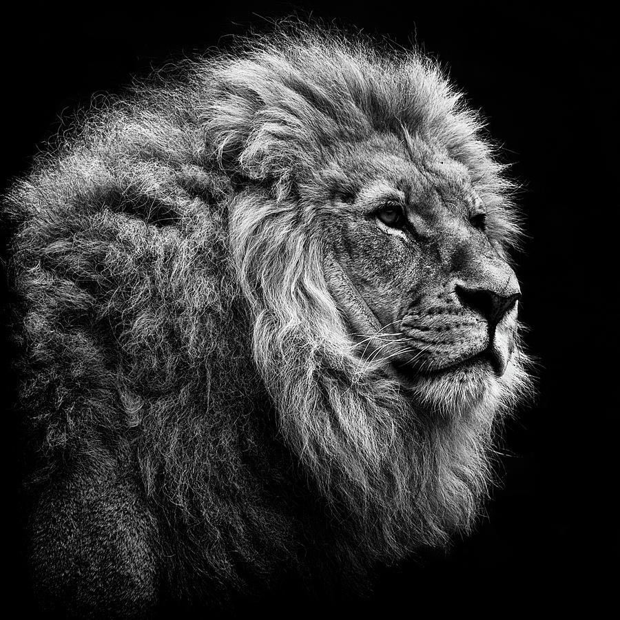 Lion On Black Background Photograph by © Christian Meermann
