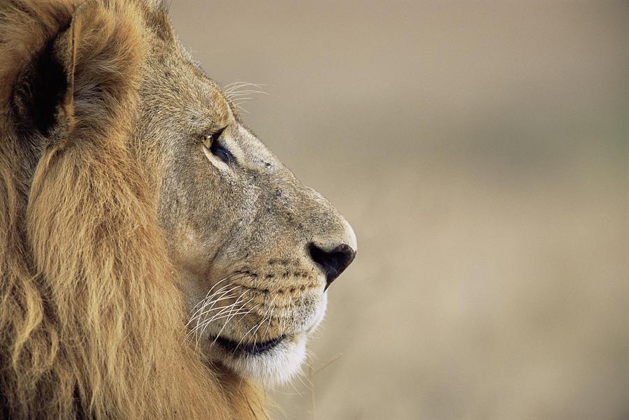 Lion Panthera Leo, Close-up, Side View Photograph by James Warwick