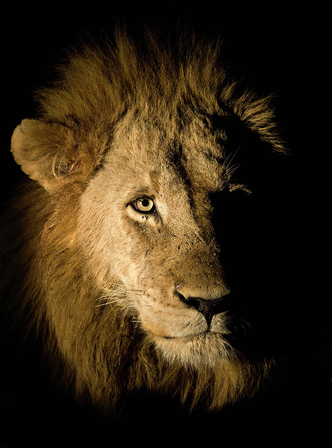 f16f4310d9 Lion Panthera Leo