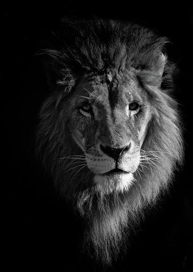 Lion Portrait Photograph by © Christian Meermann