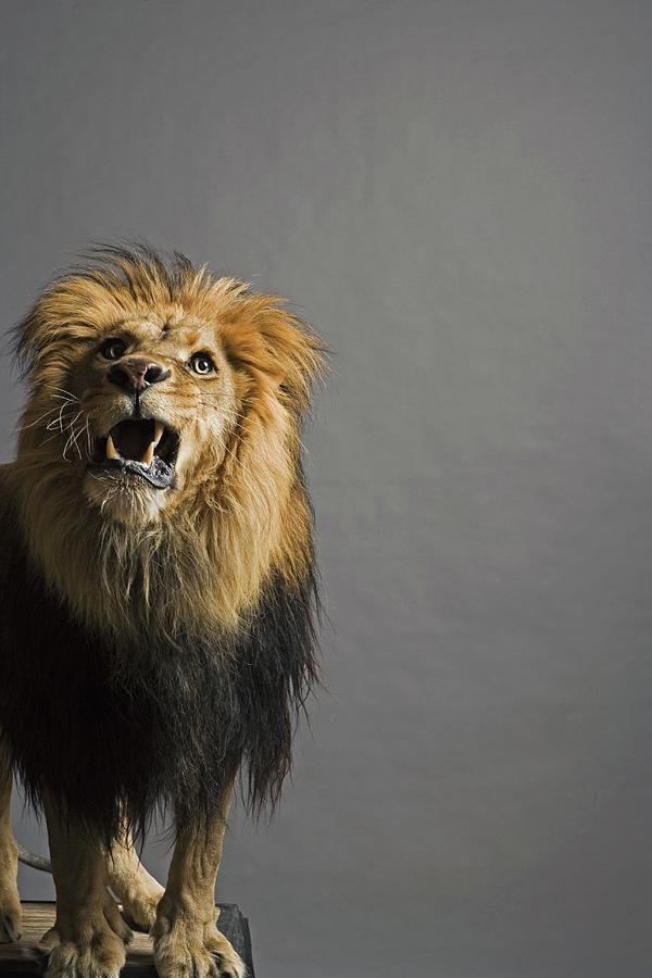 Lion Roaring Photograph by Darryl Estrine