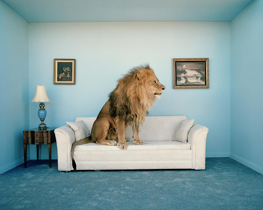 Lion Sitting On Couch, Side View Photograph by Matthias Clamer