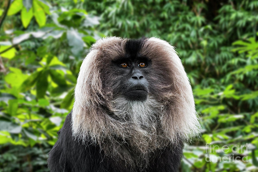 Lion-tailed Macaque by Arterra Picture Library