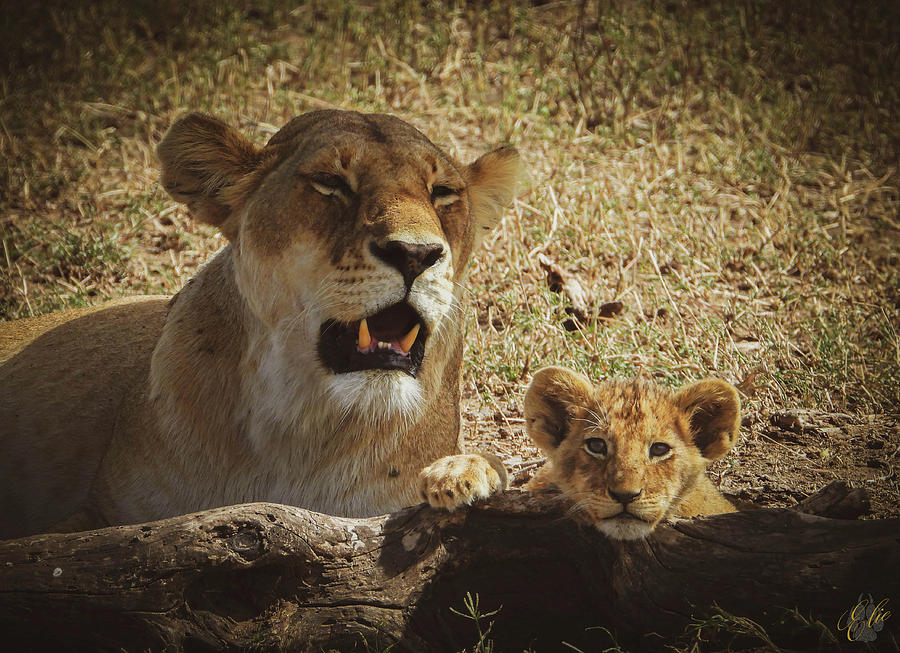LIONESS AND CUB by Elie Wolf