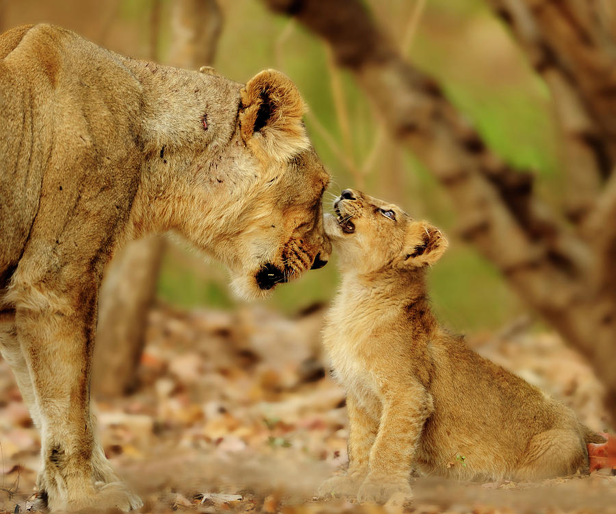 Lioness And Cub Photograph by Narasimhan