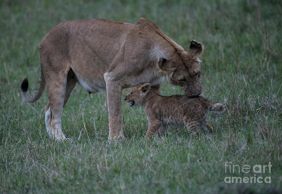 Lioness and cub by Steve Somerville