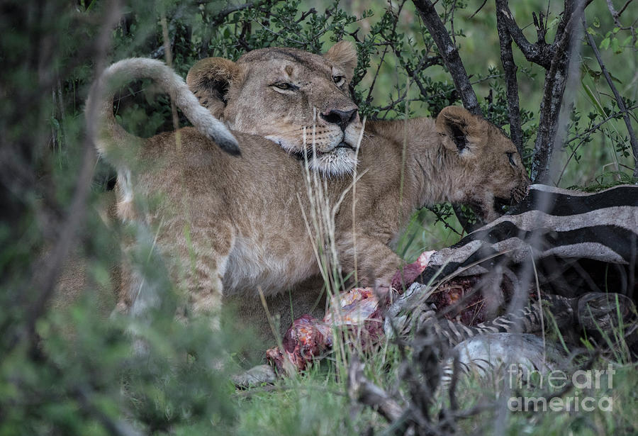 Lioness and cub - Zebra kill by Steve Somerville