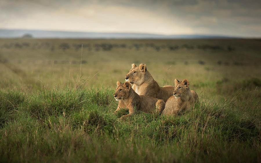 Lioness And Cubs Laying In Remote Field Photograph by Ac Productions