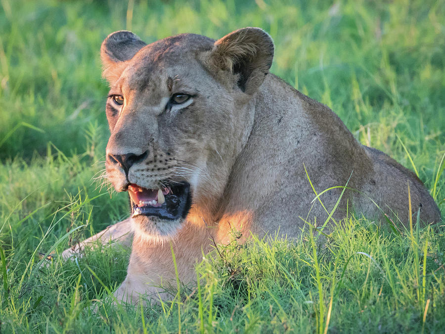 Lioness at 2 by Lee Alloway
