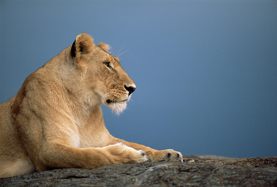 Lioness Panthera Leo Resting On Rock By James Warwick