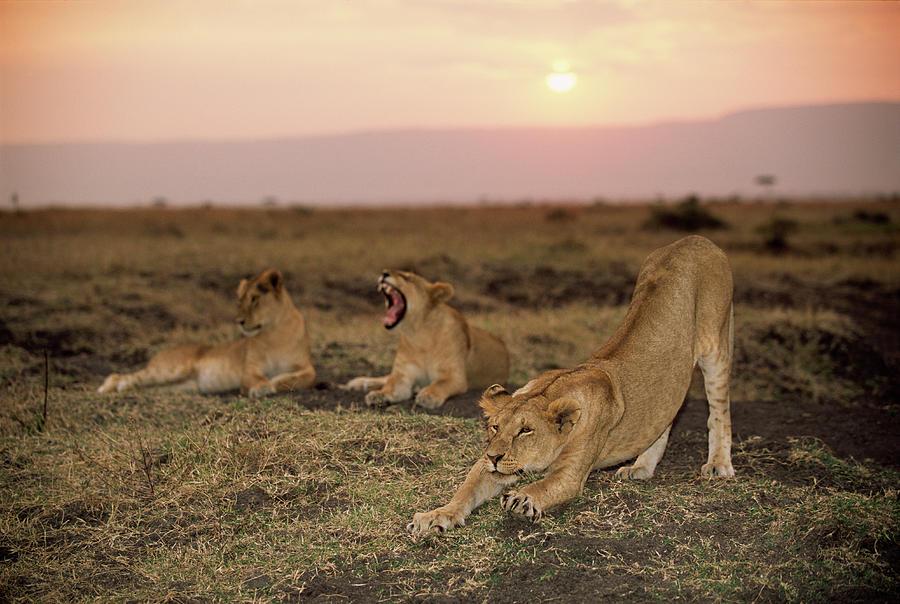 Lioness Panthera Leo Stretching Beside Photograph by James Warwick