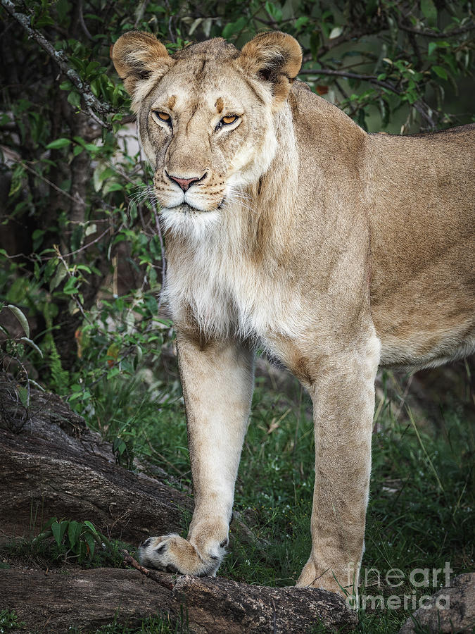 Lioness by Robin Zygelman