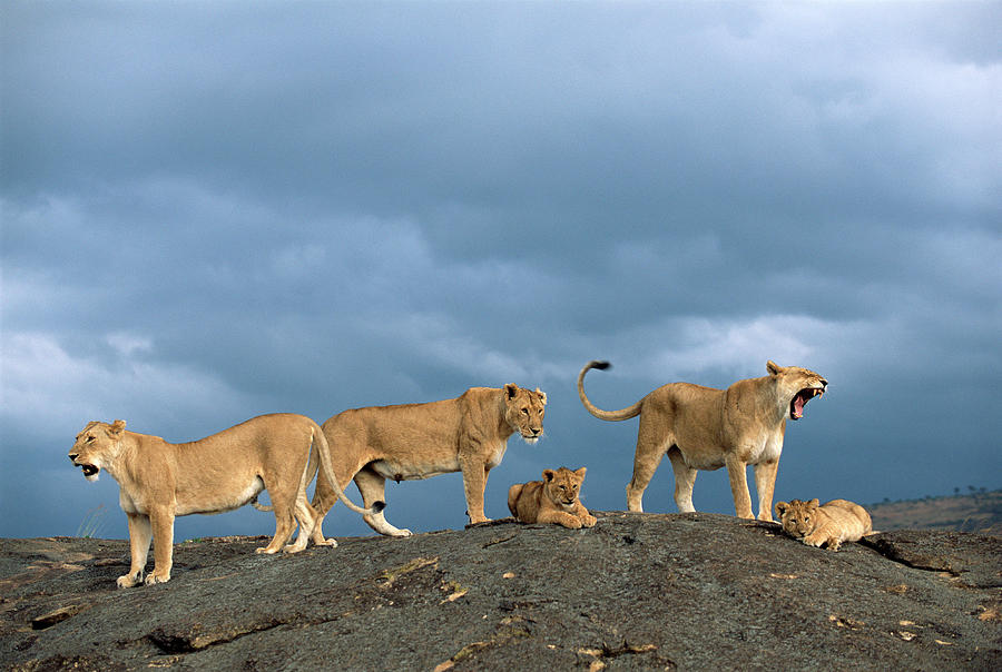 Lionesses And Cubs Panthera Leo On Photograph by James Warwick