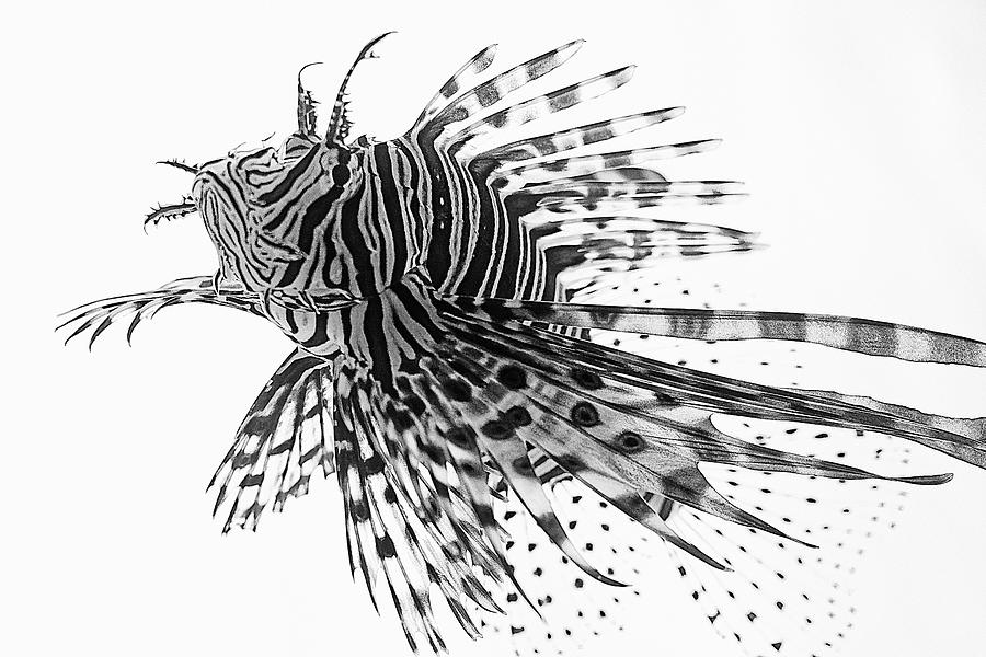 Lionfish in Black and White by KJ Swan