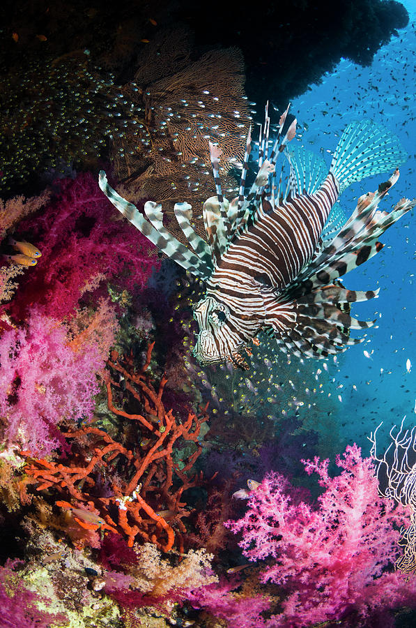 Lionfish Over Coral Reef Photograph by Georgette Douwma