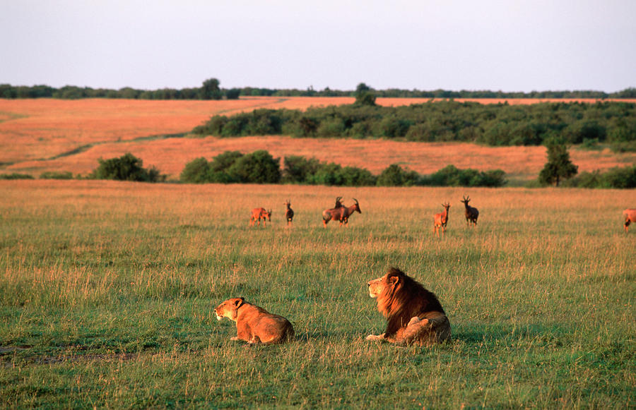 Lions And Lioness Panthera Leo Watching Photograph by Martin Harvey